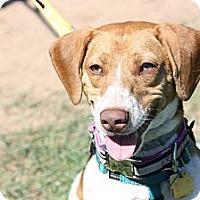 Adopt A Pet :: Rosie - Newtown, CT