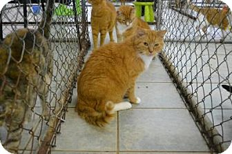 Domestic Shorthair Cat for adoption in East Smithfield, Pennsylvania - Barnes