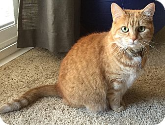 Domestic Shorthair Cat for adoption in Lincoln, Nebraska - Layla