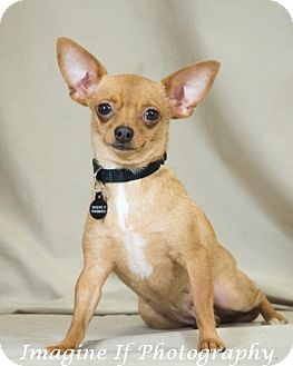 Chihuahua Dog for adoption in Crescent, Oklahoma - Leather