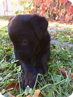 Labrador Retriever/Mastiff Mix Puppy for adoption in Regina, Saskatchewan - Rhea