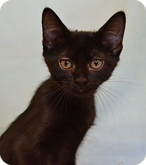 Domestic Shorthair Cat for adoption in Larned, Kansas - Amethyst