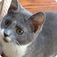 Domestic Shorthair Cat for adoption in Newtown Square, Pennsylvania - Lotti