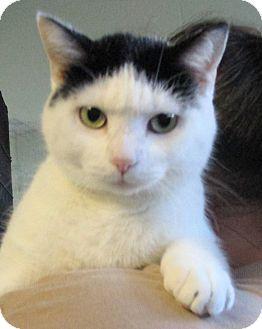 Domestic Shorthair Cat for adoption in Reeds Spring, Missouri - Mattie