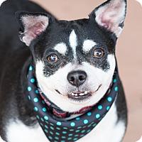 Adopt A Pet :: Andoullie - Chandler, AZ