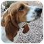 Photo 1 - Basset Hound Dog for adoption in Phoenix, Arizona - Calvin