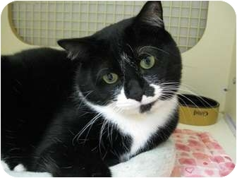 Domestic Shorthair Cat for adoption in Brea, California - Sugar