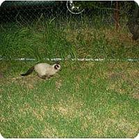 Adopt A Pet :: Sammy - Washington Terrace, UT