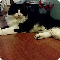 Domestic Mediumhair Cat for adoption in Egg Hbr Twp, New Jersey - Briq