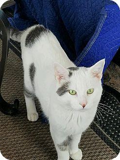 Domestic Shorthair Cat for adoption in Freeland, Michigan - Ben