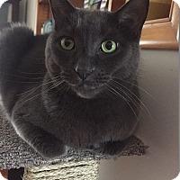 Adopt A Pet :: Simon Q - Warren, MI