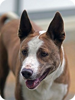 Australian Cattle Dog/American Pit Bull Terrier Mix Dog for adoption in Berkeley, California - Halo