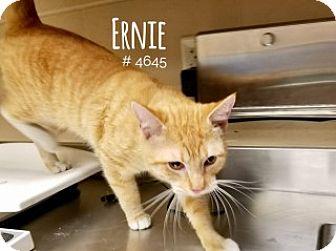 Domestic Shorthair Cat for adoption in Alvin, Texas - Ernie