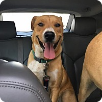 Adopt A Pet :: Ranger-pending adoption - Manchester, CT