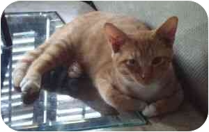 Domestic Shorthair Cat for adoption in Greensboro, Georgia - Aspen