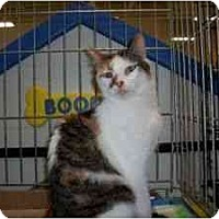 Calico Cat for adoption in North Plainfield, New Jersey - Calliope