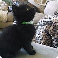 Adopt A Pet :: Bianca (bottle fed) - Sterling Hgts, MI