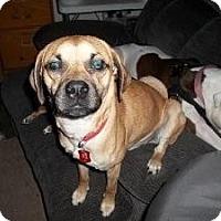 Adopt A Pet :: Chaos - North Benton, OH