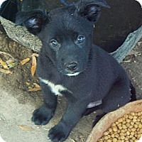 Adopt A Pet :: Achilles - Brooklyn, NY