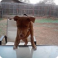 Adopt A Pet :: Ginger in OK - Oklahoma City, OK