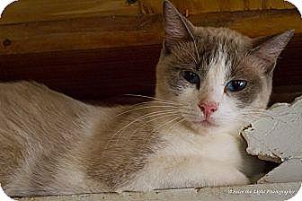 Siamese Cat for adoption in Bulverde, Texas - Simon