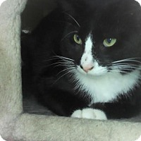 Adopt A Pet :: Soxy - Chicago, IL