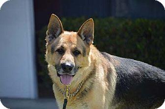 German Shepherd Dog Dog for adoption in Downey, California - Colton