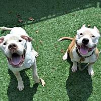 Adopt A Pet :: Captain and Morgan - Elizabethtown, PA
