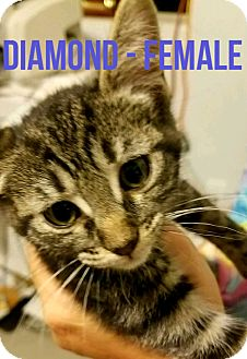 Domestic Shorthair Kitten for adoption in Glendale, Arizona - DIAMOND