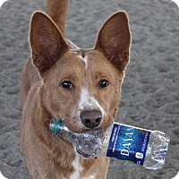 Adopt A Pet :: Ginger - Winters, CA