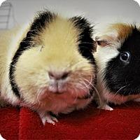 Adopt A Pet :: Cha Cha - Seattle, WA