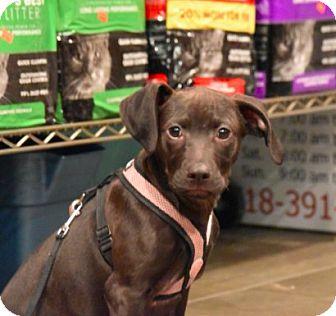 Labrador Retriever Mix Puppy for adoption in New York, New York - Dan