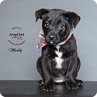 Adopt A Pet :: Maddy - Houston, TX