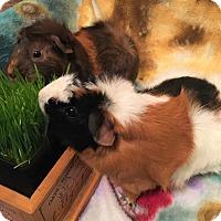Adopt A Pet :: Anna & Elsa - Aurora, IL