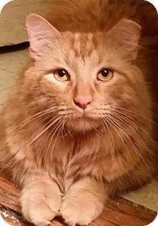 Domestic Longhair Cat for adoption in New York, New York - Edgar