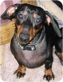 Dachshund Mix Dog for adoption in Portland, Oregon - Hansel