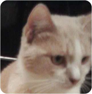 Domestic Shorthair Cat for adoption in Columbia, Maryland - Lacey