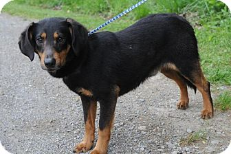 Dachshund/Spaniel (Unknown Type) Mix Dog for adoption in Harrisburgh, Pennsylvania - Moe