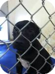 Labrador Retriever/American Pit Bull Terrier Mix Puppy for adoption in Red Bluff, California - Gillian