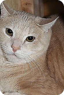 Domestic Shorthair Cat for adoption in New York, New York - Peaches (Westhampton)