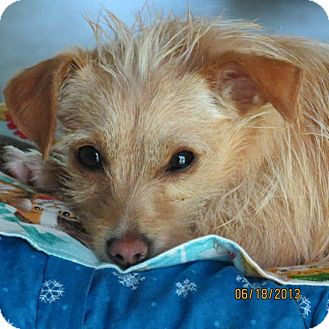 Norwich Terrier/Terrier (Unknown Type, Small) Mix Dog for adoption in Gig Harbor, Washington - Tiger Lily