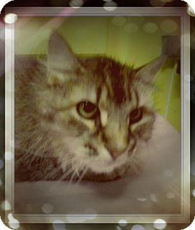 Maine Coon Cat for adoption in Trevose, Pennsylvania - Lennox