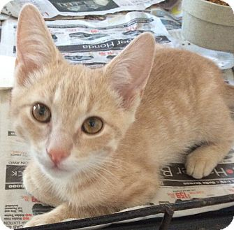 Domestic Shorthair Kitten for adoption in Mt Pleasant, Pennsylvania - Linden