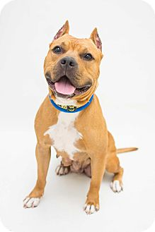 American Staffordshire Terrier Mix Dog for adoption in Reisterstown, Maryland - Hazel