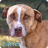 Adopt A Pet :: Carter - New York, NY