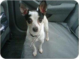 Chihuahua/Dachshund Mix Dog for adoption in Rancho Cordova, California - Nicky & Abbey