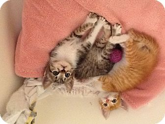 American Shorthair Kitten for adoption in Weatherford, Texas - Alex & Miracle