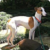 Adopt A Pet :: Stretch in Tyler Area - Argyle, TX