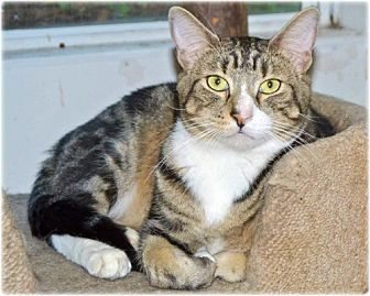 Domestic Shorthair Cat for adoption in Huntington, New York - Noogie
