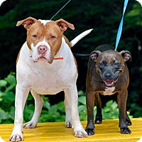 American Staffordshire Terrier Mix Dog for adoption in Pottsville, Pennsylvania - Bubbles